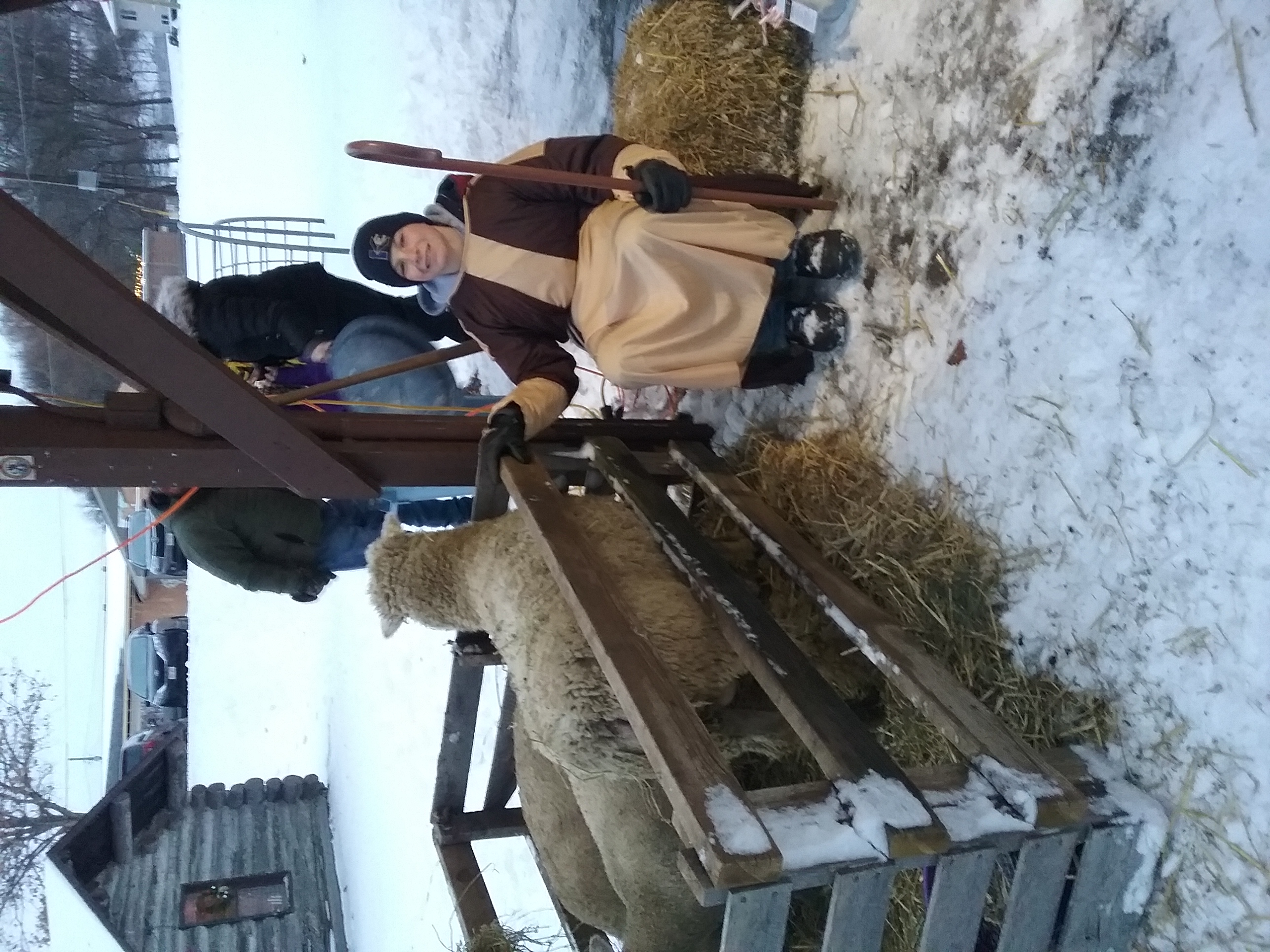 live nativity sheep