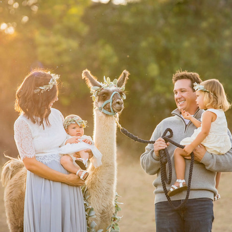 2020 Llama Holiday Mini Session