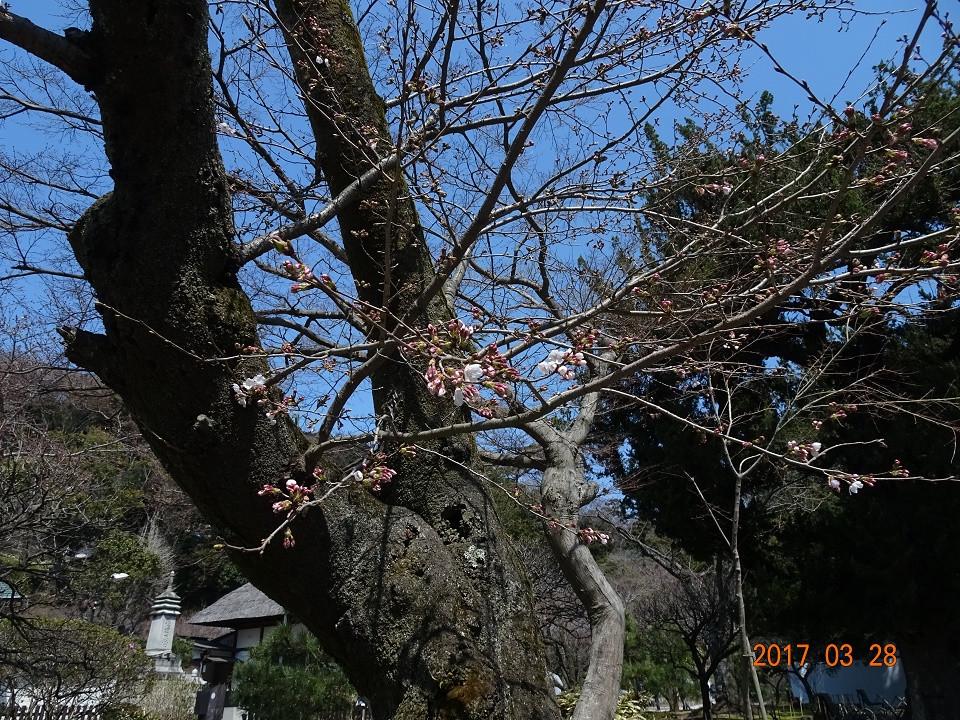 円覚寺 可憐な桜