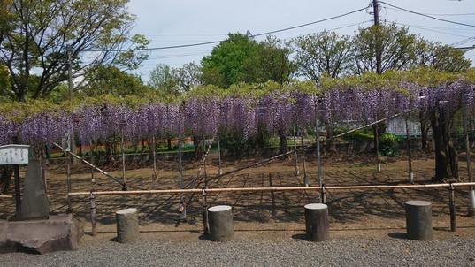 白幡神社境内の藤棚