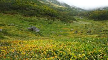 イワイチョウの黄色の絨毯