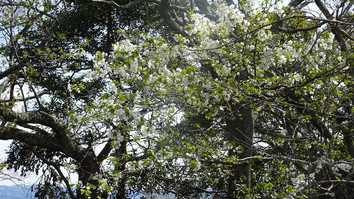 可憐の山桜