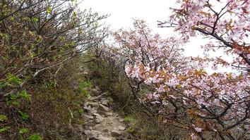 山頂直下の山桜