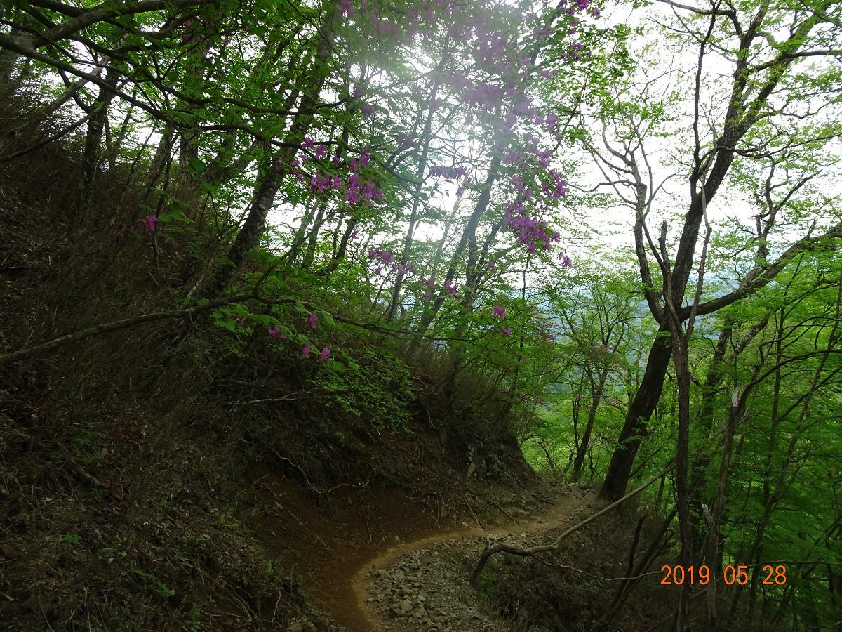 ブナ林と山ツツジ