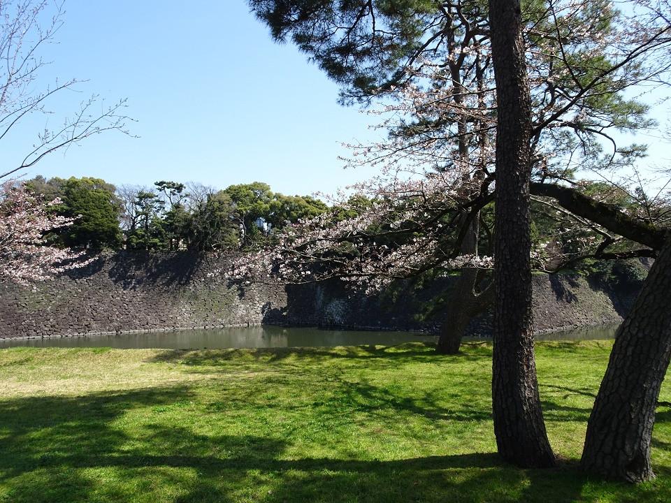 皇居の山桜