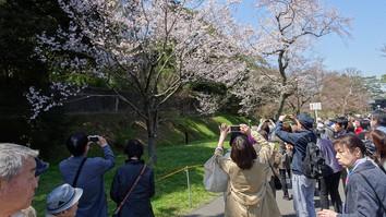 乾通りの桜
