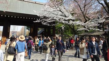 橋靖国神社の桜