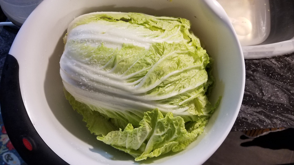 Napa Cabbage chopped in half and salted for curing