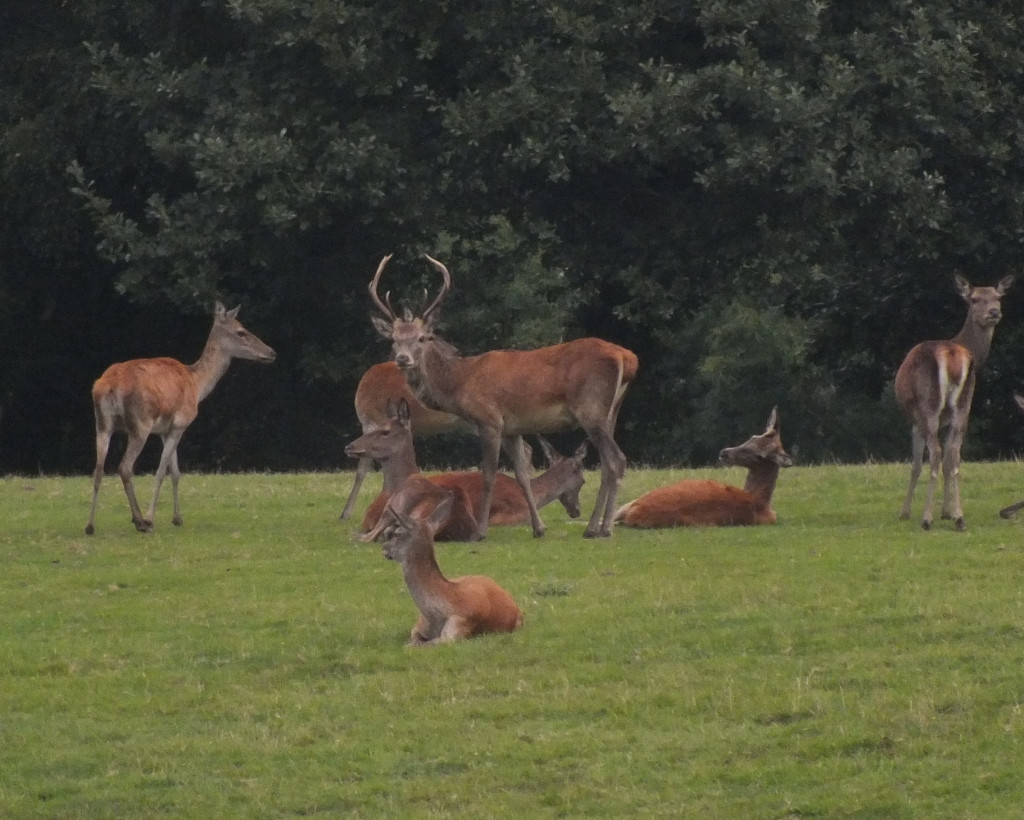 Young red deer herd