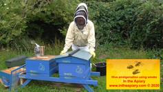Amalgamation of hives using smoke