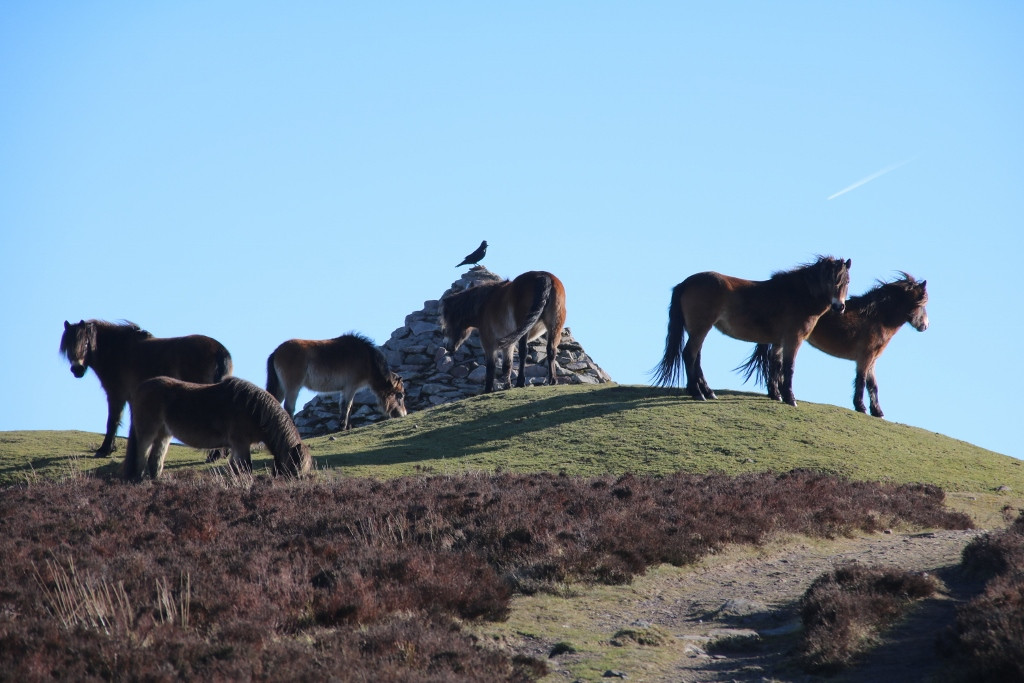Ponies at Dunkery Beacon