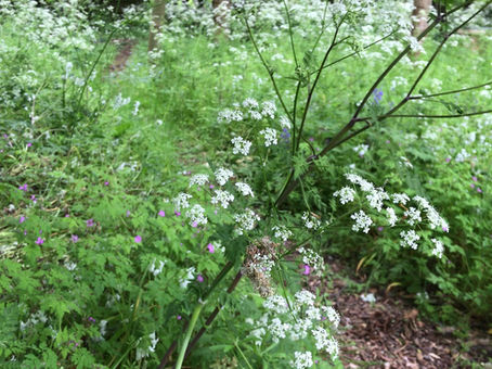 Birdsong and cow parsley