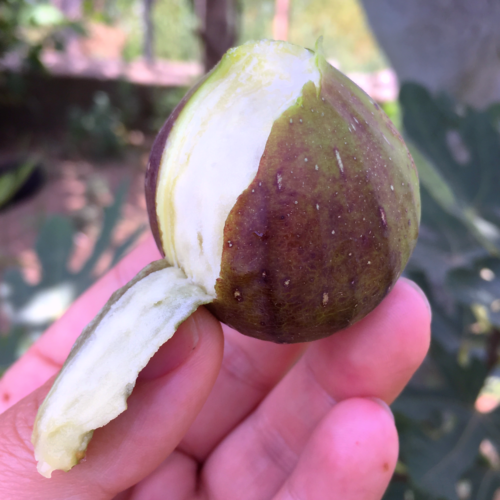 showing how to peel a fig