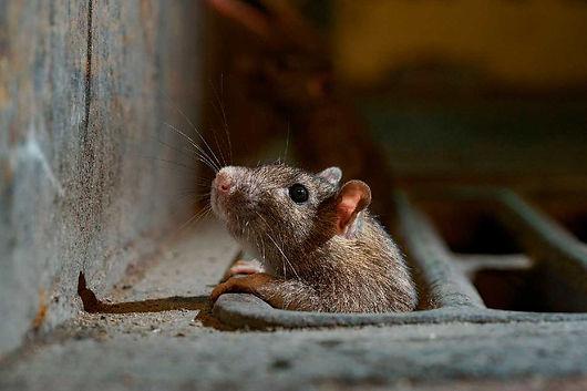 controle-de-ratos-em-maringa.jpg