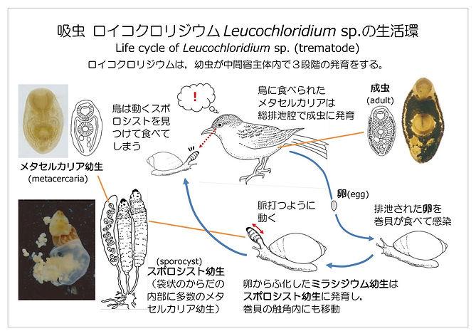 ロイコクリリジウム生活環.jpg