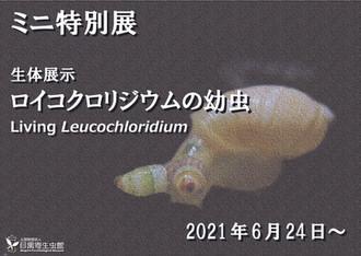 ミニ特別展「生体展示 ロイコクロリジウムの幼虫」開催のお知らせ