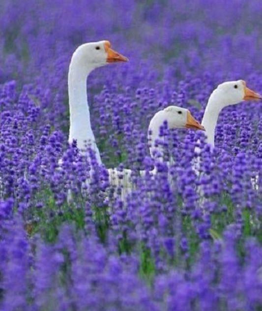 ducks in lavender.jpg