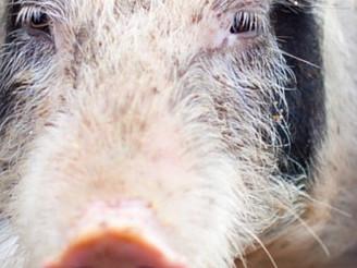 Boar semen quality varies greatly due to handling