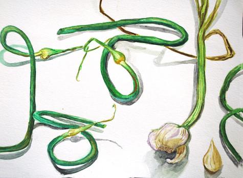 Garlic Scapes, 2015
