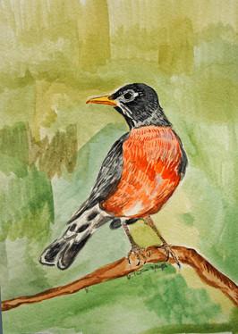 Spring Robin, 2016