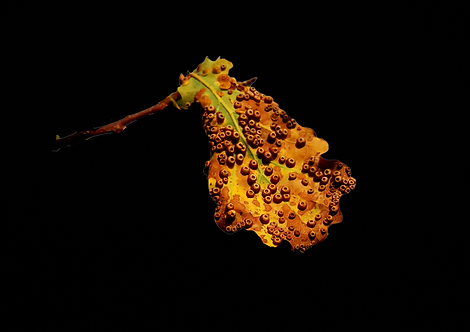 Silk Button Galls on Oak
