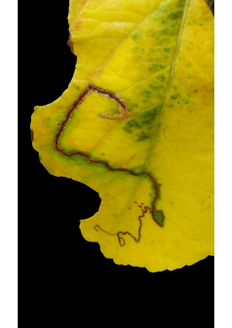 Leafminer on Cherry Leaf