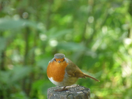 How the Robin Got the Redbreast