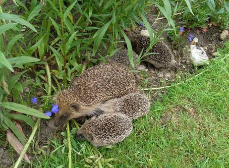The Hedgehog Club Fun Fact Sheets Fact Sheet 1 Hedgehogs