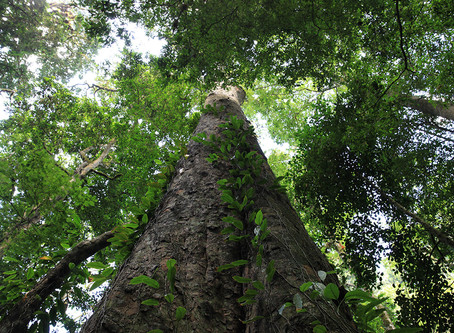The finding of the tallest trees of Africa