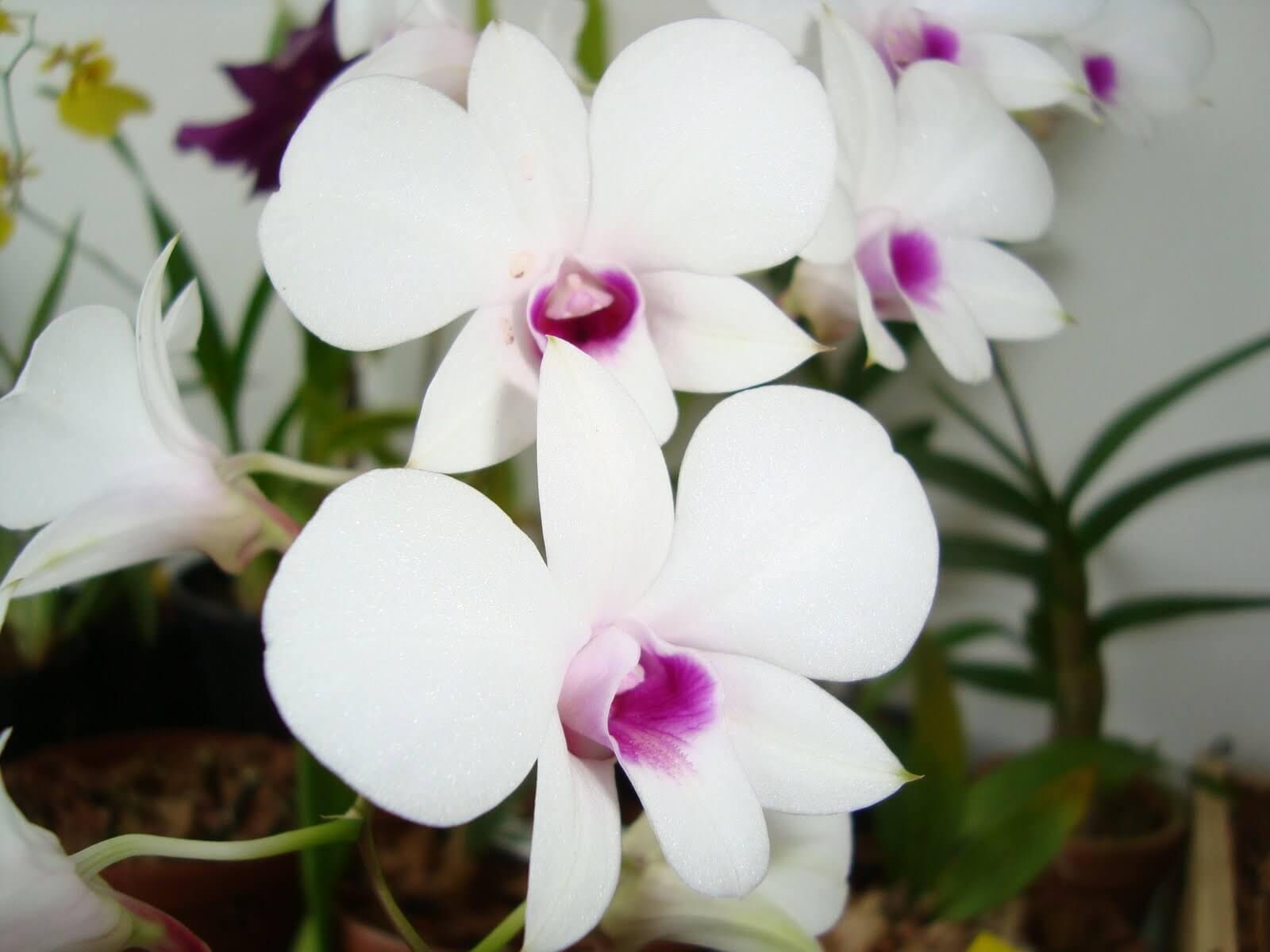 orquídeas3