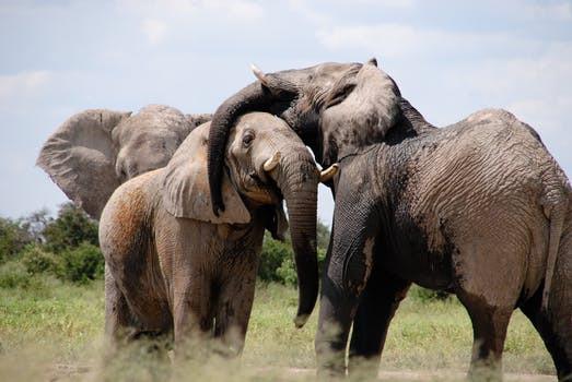 3 Elephants interacting