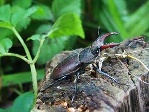 Help needed for Stag beetles