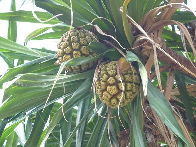 ワイキキで見つける「伝統植物」
