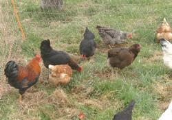 Bunte Hühner