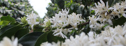 SH COFFEES - Flowering