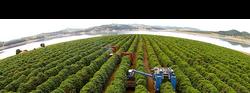 SH Coffees - Mechanic coffee harvest