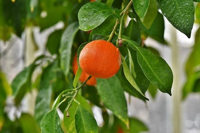 huile essentielle d'orange contre mycose
