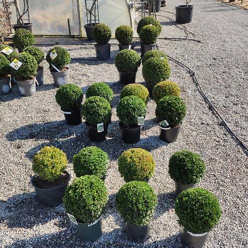 Buxus sempervirens Kugelform
