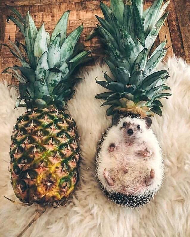 Ananaso-ježek