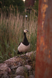 Goose (don't fuck with)