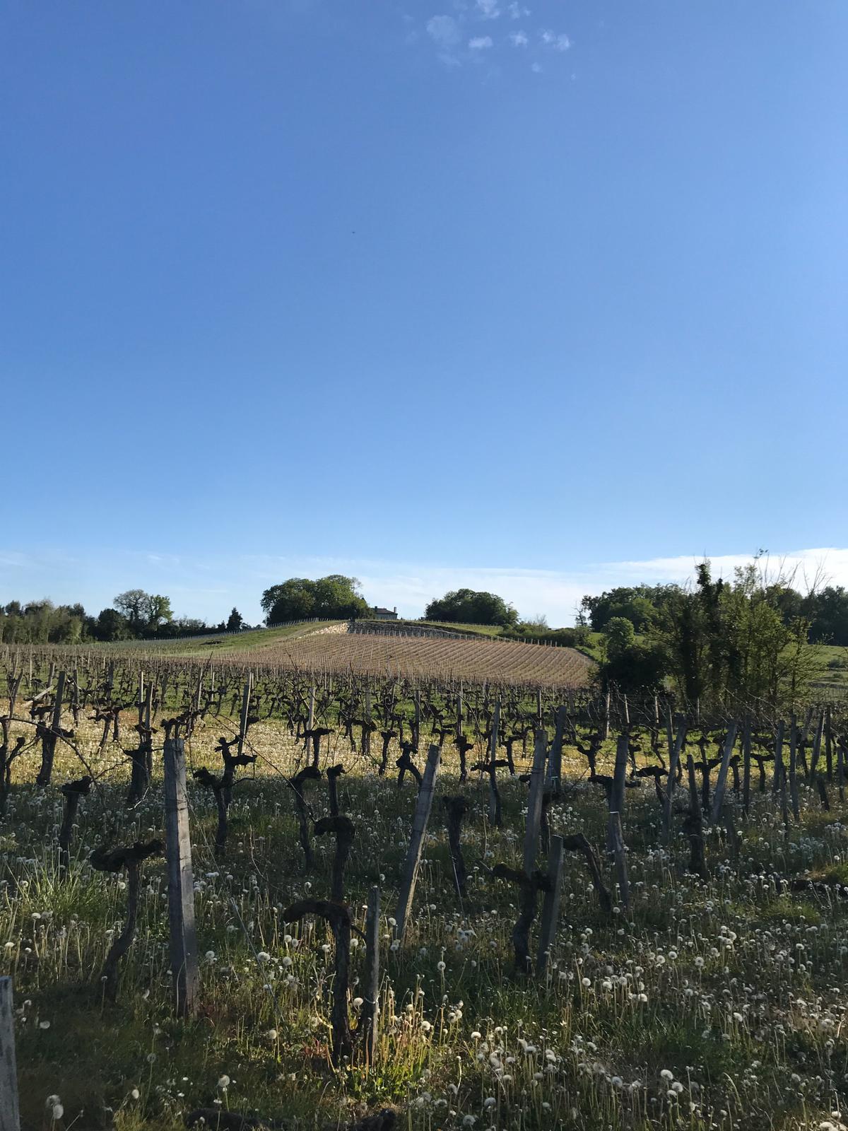 Vignes à St Loubès