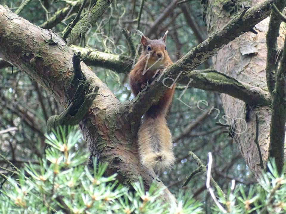 Red Squirrel, Greystoke