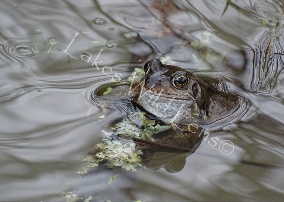 Common Frog, Stable Hills