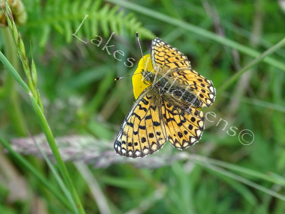 Fritillary, St Johns-in-the-Vale