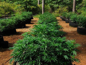 """""""Big Brother & Cannabis"""". G-13 government strains"""