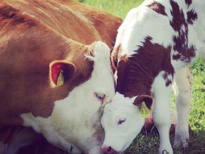 Cows may look different from humans, but they have way more in common with us than you'd think.