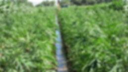 hemp-farm-bill.jpg