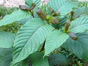 "DEA Bans Kratom Wonder Plant Creates Outrage, ""People Will Die"""