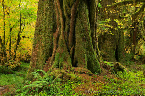 Old growth tree photography with Bellingham's Peter James