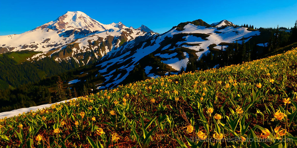 Mount Baker (Washington) in full bloom with fine art photographer Peter James